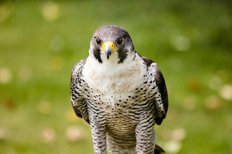 Falke, Greifvogel,