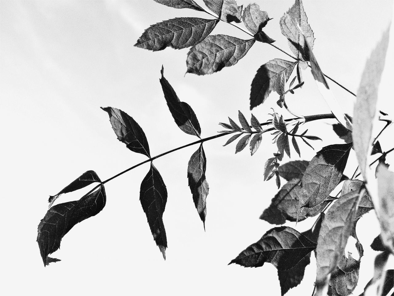 nature, no people, outdoors, leaf, day, low angle view, beauty in nature, sky, fragility, animal themes, white background, bird