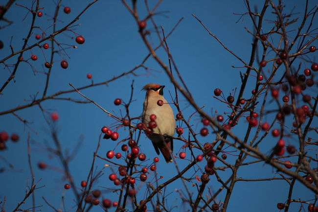 Appel Tree Bare Tree Bird Branch Day No People Outdoors Sky Tree Waxwing Waxwings