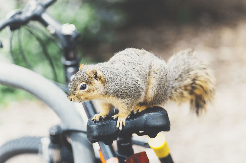 squirrel on a bike 2 Squirrel Animal Themes Animal Wildlife Animals In The Wild Close-up Day Focus On Foreground Mammal Nature No People One Animal Outdoors Rodent Squirrel Squirrel Closeup Squirrel On A Bike