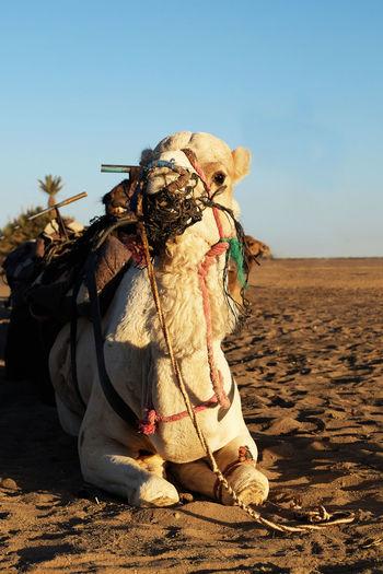 Horse cart on sand at desert against sky