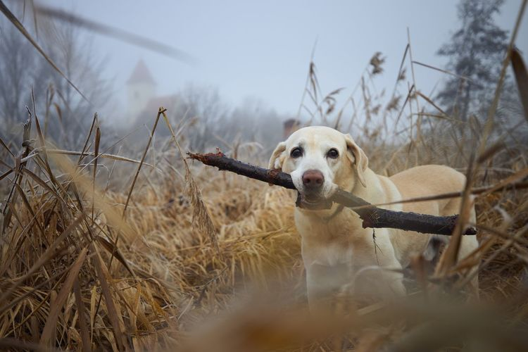 Dog walking in reeds against autumn landscape in fog. labrador retriever carrying stick in mouth.