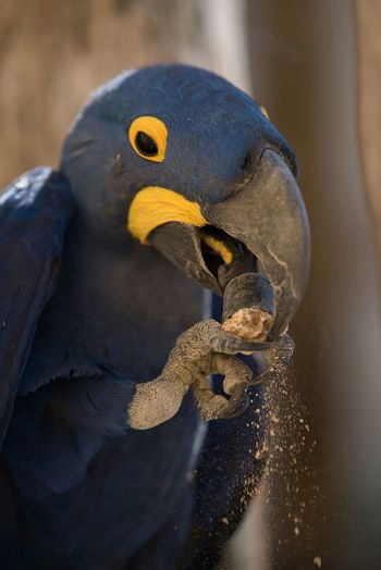 Ara Hyacinthe Perroquet Parrot Bleu Zoo Doué La Fontaine Bioparc France Bird
