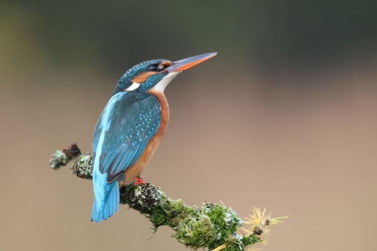 Kingy Bird