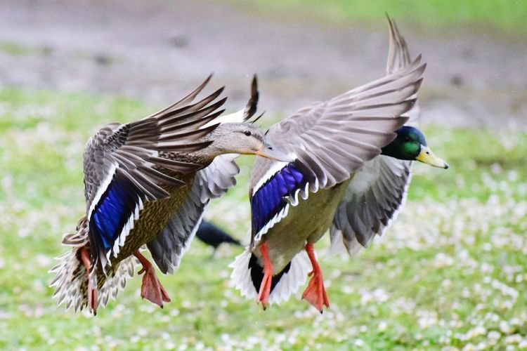 Close-Up Of Mallard Ducks Flying Over Field