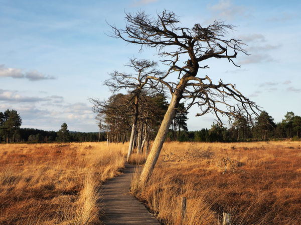 Elstead Boardwalk, Thursley Common, Surrey, England Ancient Trees Beauty In Nature Day Elstead Boardwalk England English Landscape Growth Landscape Nature Nature Reserve No People Outdoors Rural Scene Scenics Sky Surrey Thursley Common Tranquil Scene Tranquility Tree