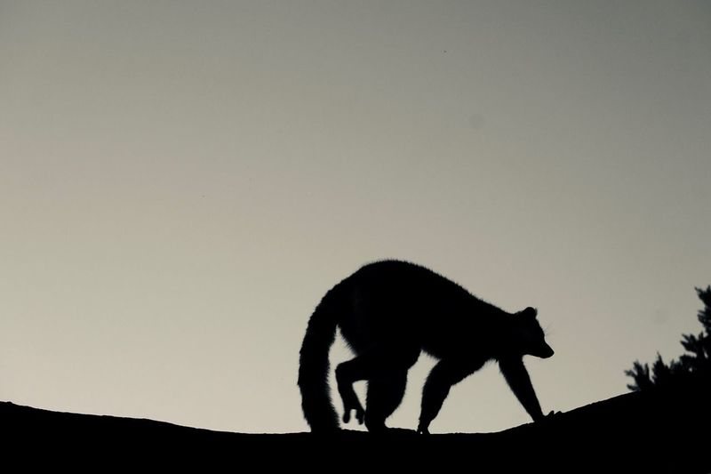 Silhouette lemur against clear sky at dusk