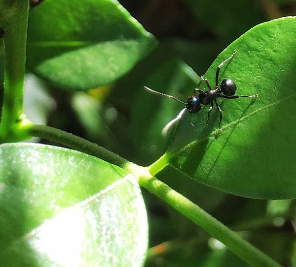 Black Ants Ant On A Green Leaf Insect Minibeast Nature Backyard Garden