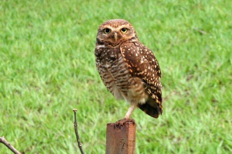 Coruja Bird Close-up Coruja Buraqueira Grass Looking At Camera One Animal Owl