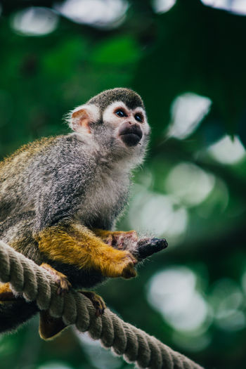 LOW ANGLE VIEW OF SQUIRREL MONKEY ON ROPE