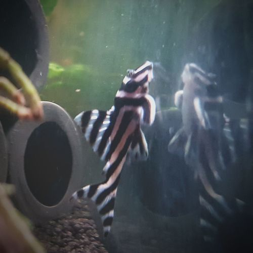 Underwater Water Close-up UnderSea Nature Animal Themes Fish Plek Rare Rare Fish Zebra Plec My Aquarium