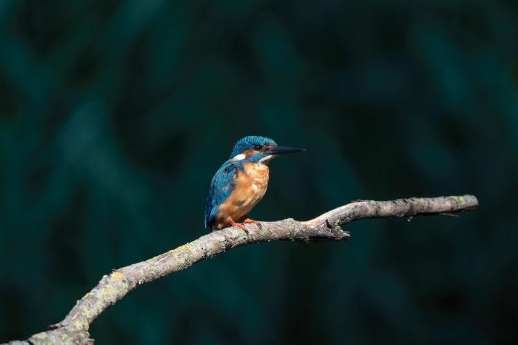 Beautiful blue kingfisher bird, male common kingfisher, sitting on a branch,  dark background.