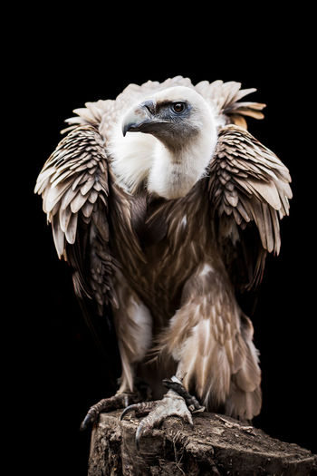 Vulture Bird Photography Portrait Of A Woman Animal Themes Animal Wildlife Animals In The Wild Beak Bird Bird Of Prey Birds Black Background Close-up Feather  Nature Night No People One Animal Outdoors Owl Perching Portrait Spread Wings Studio Shot Vulture Vultures