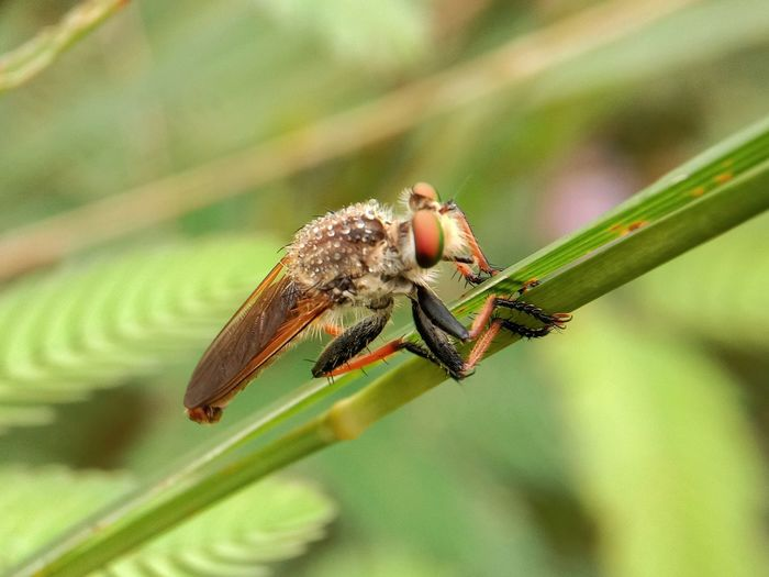 Robber Fly Macro Photography Macro_collection Macro Beauty Macro Nature Animalia Arthropoda Insecta Diptera Brachicera Asithomorpha Asiloidea Asilidae Perching Full Length Damselfly Insect Leaf Close-up Animal Themes Plant