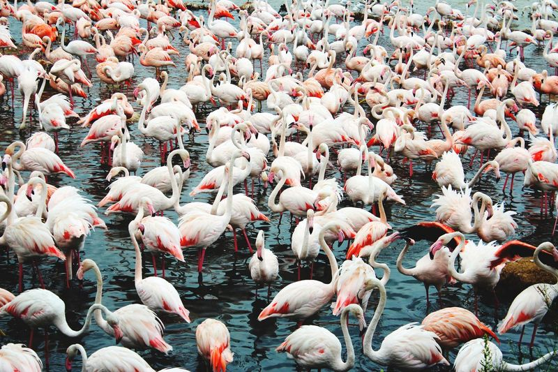 Flamingos. Pictureoftheday Photooftheday Photography EyeEm Nature Lover EyeEmNewHere Flamingos EyeEm Best Shots Flamingo Large Group Of Animals Bird Colony Animals In The Wild Animal Themes Nature Animal Wildlife Pink Color Beauty In Nature Water