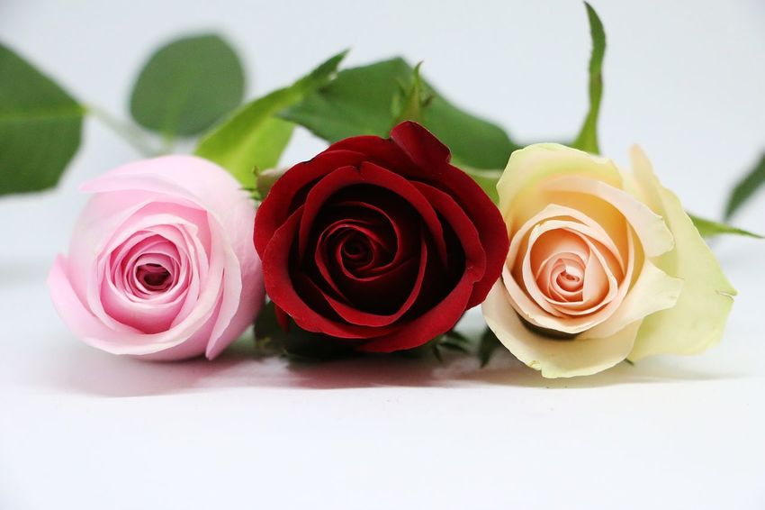 three colorful roses are lying in the studio Romantic Wedding Beauty In Nature Close-up Creme Color Day Decoration With Flowers Flower Flower Head Fragility Freshness Gift Indoors  Love Nature No People Petal Pink Color Plant Red Rose - Flower Rose Petals Studio Shot White Background