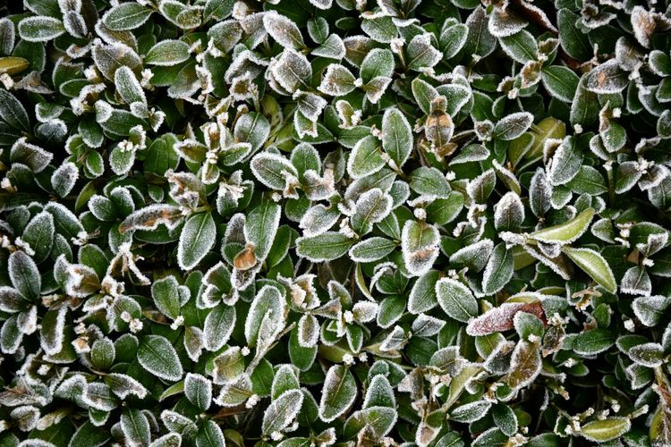 Frozen hedge.. . Nature Green Color Growth Plant Beauty In Nature Leaf Outdoors Close-up Nikond3300 Follow4follow Hello World Dutch Frozen Frost Garden Plant Plants Cold Frio Koud Freshness Freezing Nikonphotography