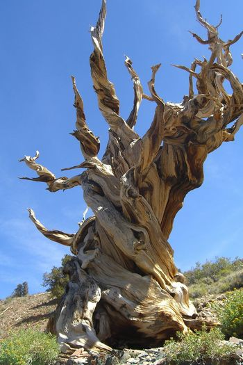 Knarled Ancient Beauty In Nature Branch Bristlecone Pine Day Knarled Nature No People Outdoors Sky Statue Tree Twisted Twisted Portrait