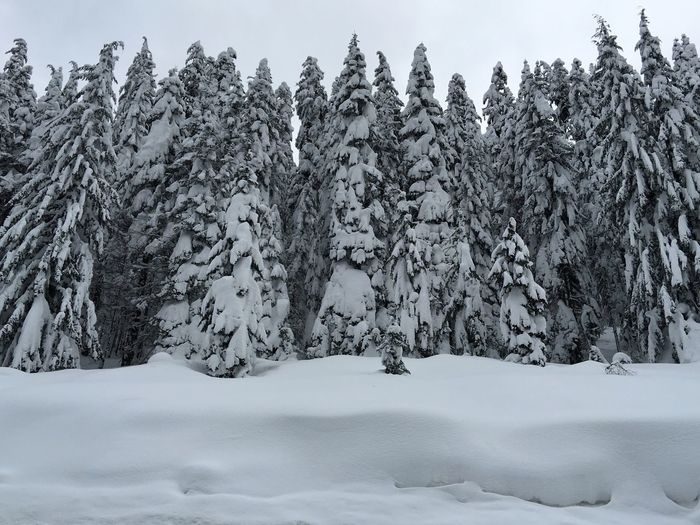 Low angle view of snow covered pine trees on field