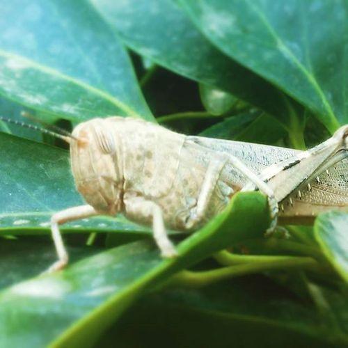 Saltamontes camuflado Bug Saltamontes Buglife Frankpancorbo