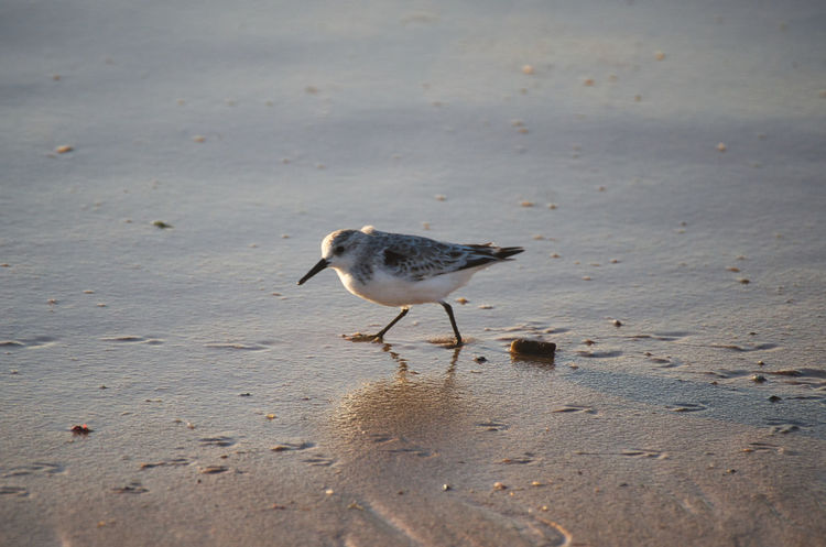 Sanderling on a shore Animal Animal Themes Animal Wildlife Animals In The Wild Beach Bird Day Full Length Land Nature No People One Animal Outdoors Sand Sea Seagull Sunlight Vertebrate Water