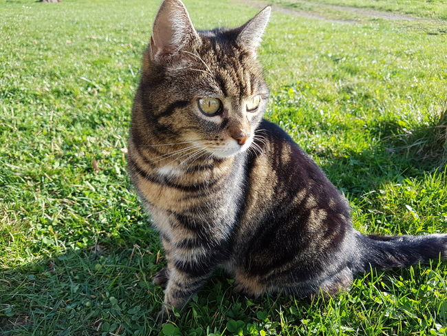Grass One Animal Mammal Animal Themes Field High Angle View Green Color Day Outdoors Sunlight Domestic Animals Shadow No People Pets Feline Nature Sitting Leopard Pet Portraits