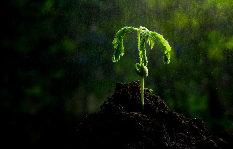 Beauty In Nature Close-up Day Fern Fragility Freshness Green Green Color Growing Growth Leaf Nature No People Outdoors Plant Tamarind The Tamarind Grows From The Soil. Germinate, Smile, Get Refreshed Tranquility Tree