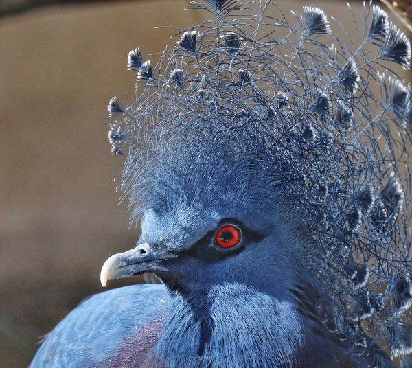 Crowned Pidgeon Feathers Beautiful Bird Blue Red Eyes