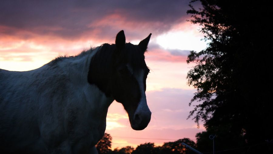 Last night with Hawkeye Tadaa Community Beauty In Nature EyeEm Gallery Horse Photography  Sunset Sunset_collection Domestic Animals Sky Animal Themes Mammal Cloud - Sky One Animal Horse Silhouette Livestock Tree Nature Outdoors Standing No People Portrait