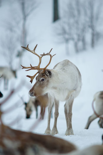 Reindeer standing on snow covered field