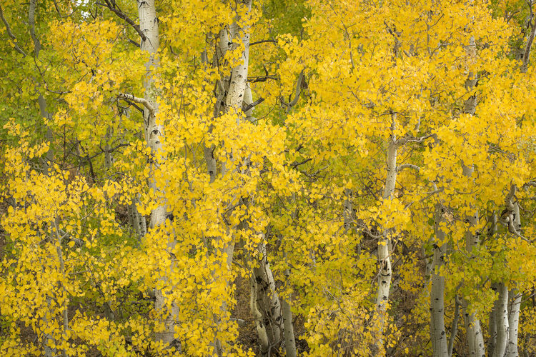 Aspen tress Yellow Plant Tree Beauty In Nature Autumn Nature Day Outdoors Forest Landscape Scenics - Nature Autumn colors Aspen Trees Eastern Sierras, CA Horizontal Composition Fall Colors Nature