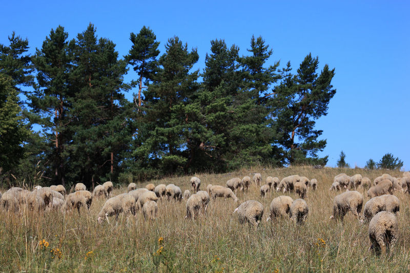 Grazing Sheep Pasture Animal Animal Themes Beauty In Nature Domestic Domestic Animals Field Flock Of Sheep Grass Group Of Animals Herbivorous Herd Land Landscape Large Group Of Animals Livestock Mammal Nature No People Paddock Plant Sheep Sheeps Sky Tree