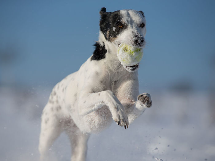 Crossbreed dog running on snow Animal Themes Crossbreed Day Dog Fun Hanging Out Mammal Nature No People One Animal Outdoor Outdoors Outdoors Photograpghy  Pets Playing Playing With The Animals Sky Snow Tennis Ball