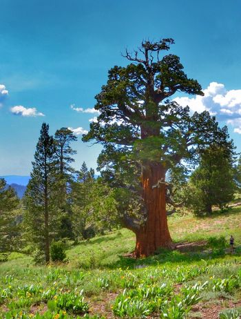 Bennett Juniper near Sonora 3500 years old Plant Tree Sky Growth Beauty In Nature Nature Cloud - Sky Grass Tranquility No People Day Field Tranquil Scene Sunlight Outdoors Land Scenics - Nature Environment Green Color Landscape