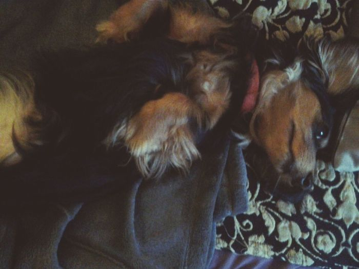 Miss Dachshund says it's a hard life being a A Miniature Dachshund Dachshundlove Relaxing Cheese! Hello World Check This Out Hanging Out That's Me Dachshundlovers