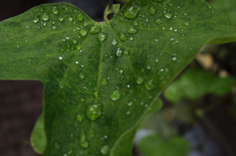 Close-up Drop Droplet Freshness Green Color Leaf Leaf Vein Plant Purity Selective Focus Water Water Droplets Weather Water_collection Rain Rainy Days EyeEm Best Shots Shades Of Green