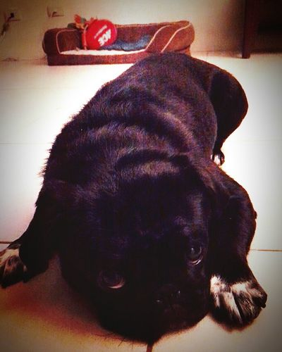 Dog Puglife MissingHer :'( Blackpug