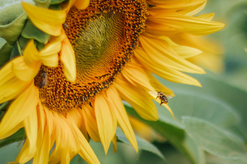 Close-up of bee flying by sunflower