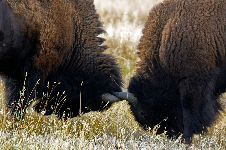 Two buffalo on a cold winters day fighting head to head with horns locked. Buffalo Head To Head Horns Wildlife & Nature Wildlife Photography Wintertime Wyoming USA Yellowstone National Park Animal Themes Animal Wildlife Animals In The Wild Brown Hair Close-up Day Fighting Frosted Glass Grass Grazing Horns Locked Mammal Nature No People Outdoors Shades Of Winter