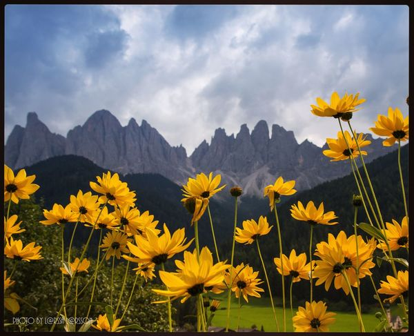 Val di Funes, Italy Flower Yellow Flower Head Beauty In Nature Sky Nature Close-up Mountain Cloud Outdoors Dolomites Scenics Beautiful Dolomites, Italy Landscape Vibrant Color In Bloom Alps Panoramic Val Di Funes
