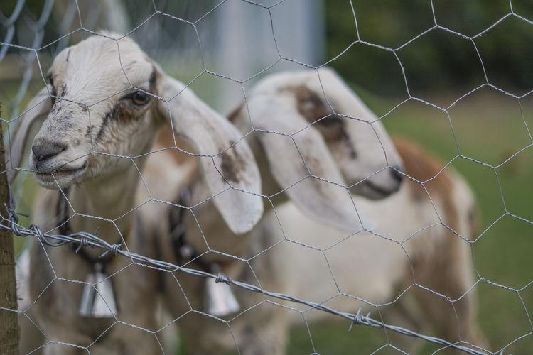 Close-up of an animal goats