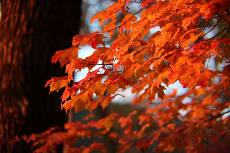 Autumn Change Leaf Plant Part Orange Color Nature Beauty In Nature No People Focus On Foreground Branch Close-up Plant Outdoors Day Red Maple Leaf Selective Focus Tree Growth Leaves