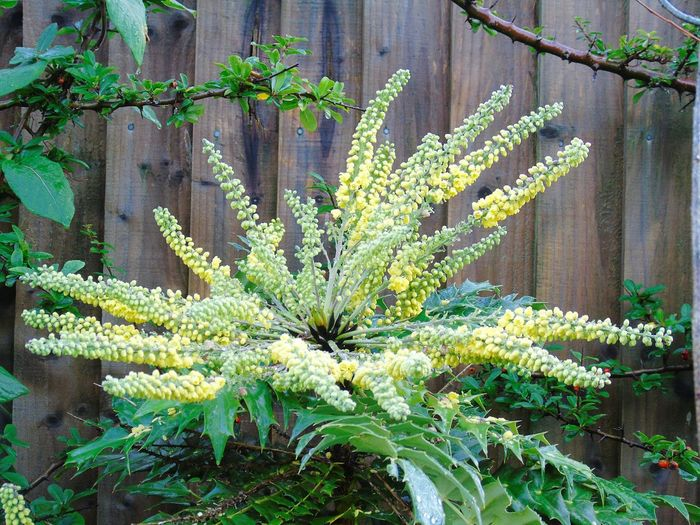 Growth Plant Nature Green Color Leaf Flower No People Beauty In Nature Lush - Description Outdoors Freshness Mahonia Flowers