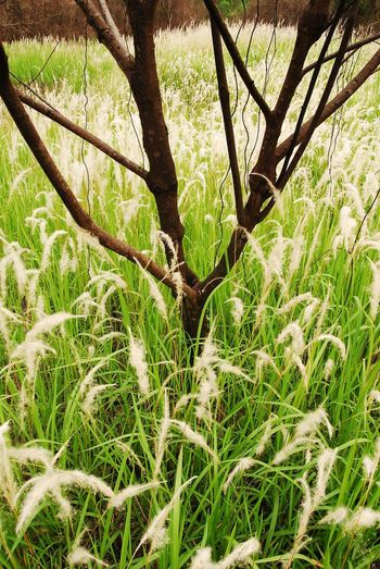 Background Blady Grass Cogon Grass Field Grass Imperata Imperata Cylindrica Japanese Bloodgrass Kunai Grass Lalang Open Field Silver Spike South East Aisa Speargrass