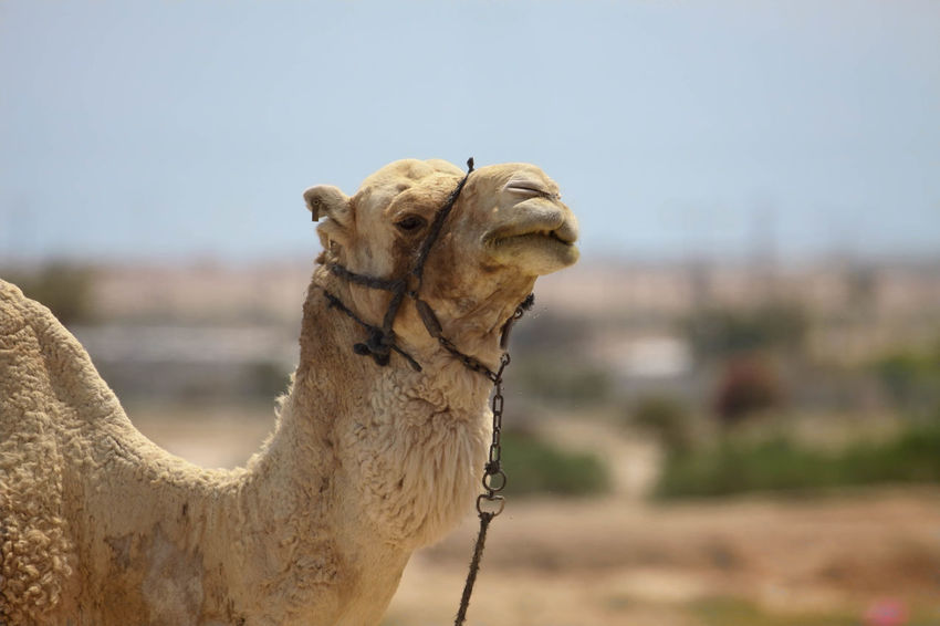 Camel Beauty In Nature Camels Close-up Cropped Day Focus On Foreground Grazing Grazing Camel Harness Hump Nature No People Outdoors Part Of Ride Selective Focus Sky Tranquil Scene Tranquility Transportation Transportation Vehicle Wooden Post
