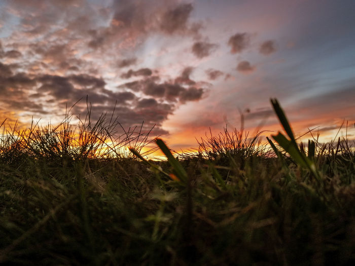 Close-up of grass growing on field against sky during sunset