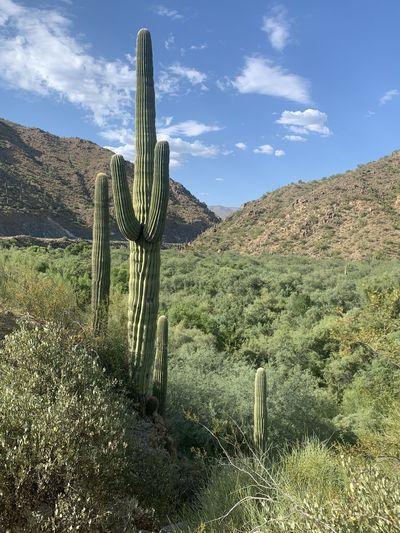 Cactus in field against sky
