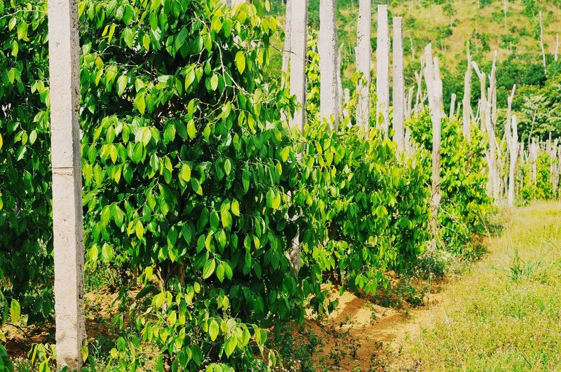 Spice Garden Pepper - Vegetable Pepper Pepper Garden EyeEm Nature Lover Spice Garden TheKingofSpice Tree Ivy Leaf Sunlight Close-up Plant Green Color Greenery