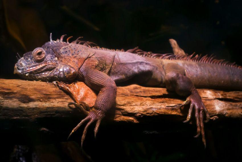Iguana Lizard Reptile Sunbathing Solarium Terrarium Theme Park Tampere Finland