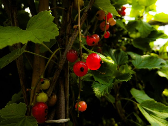 Redcurrant Currants Garden Fruits Fresh Fruits Healthy Food Macro Photography Macro Nature EyeEm Nature Lover Light And Shadow Summer Views Landscapes With WhiteWall The Essence Of Summer